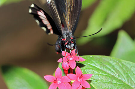 Red Postman Butterfly  aka Small Postman, Red Passion Flower Butterfly, Crimson-patched Longwing – Heliconius Erato , Costa Rica photo