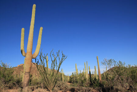 cactus species: Saguaro Cactuses  Carnegiea Gigantea  in Saguaro National Park, Tucson, Arizona, USA