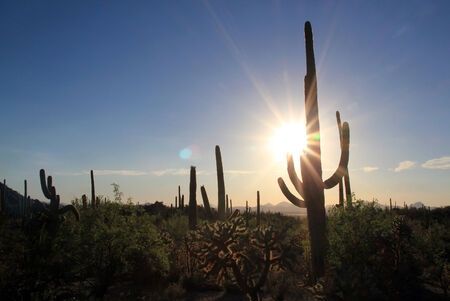 cactus species: Sunset Over Saguaro National Park, Tucson, Arizona, USA