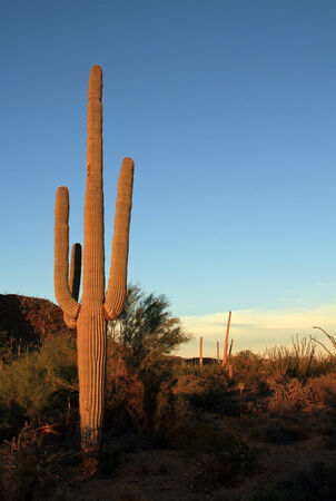 cactus species: Saguaro Cactus  Carnegiea Gigantea  in Sunset Light, Saguaro National Park, Tucson, Arizona, United States