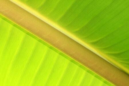 banana leaf: Primer plano de una hoja de pl�tano