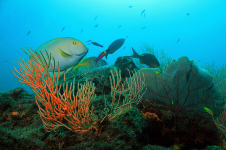surgeon fish: Yellowfin Surgeonfish (Acanthurus Xanthopterus) On a Coral Reef, Cano sland, Costa Rica