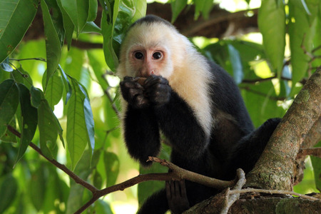 White-faced Capuchin (aka White-headed Capuchin, White-throated Capuchin – Cebus Capucinus) Feeding, Manuel Antonio, Costa Rica