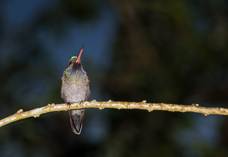 Unidentified Hummingbird on a Branch, Drake Bay, Costa Rica Stock Photo