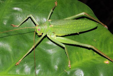 rican: Katydid on a Leaf, Drake Bay, Costa Rica Stock Photo