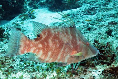 wrasse: Hogfish (Lachnolaimus Maximus), Cozumel, Mexico