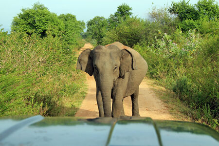 Lankesian Elephant (Elephas Maximus Maximus) Blocking the Road and Looking into the Camera, Uda Walawe National Park, Sri Lanka