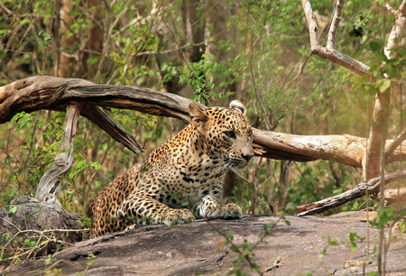 yala: Sri Lankan Leopard (Panthera Pardus Kotiya) on a Stone in the Bush, Yala National Park, Sri Lanka