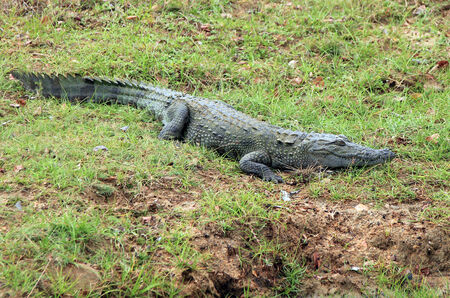 mugger: Mugger Crocodile (Crocodylus Palustris), Yala National Park, Sri Lanka Stock Photo