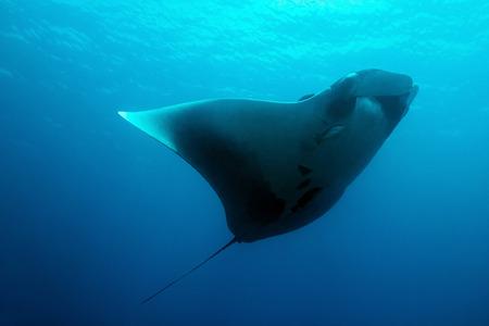 Pazifik Mantarochen (Manta birostris), Cao Island, Costa Rica Standard-Bild - 36747915