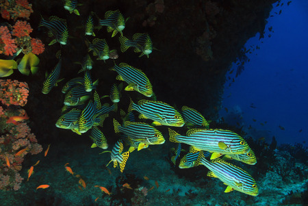 vittatus: School of Oriental Sweetlips (Plectorhinchus Vittatus), South Ari Atoll, Maldives