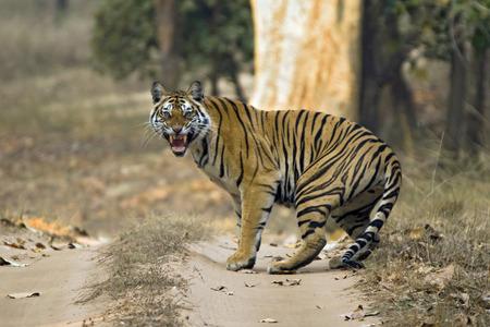 panthera tigris: Bengal Tiger (Panthera Tigris Tigris) Showing Teeth, Bandhavgarh, India