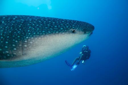 Whale Shark (Rhincodon Typus) and Diver, South Ari Atoll, Maldives Foto de archivo