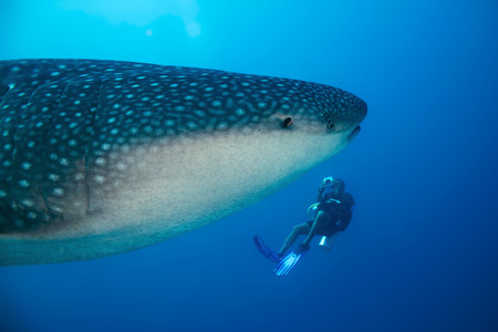 underwater diving: Whale Shark (Rhincodon Typus) and Diver, South Ari Atoll, Maldives Stock Photo