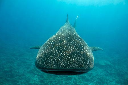 whale shark: Whale Shark (Rhincodon Typus) Approaching, South Ari Atoll, Maldives