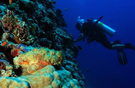 stonefish: Stonefish (Synanceia Verrucosa) and Diver on Reef Wall, South Ari Atoll, Maldives