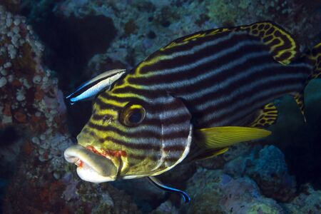 vittatus: Close-up of an Oriental Sweetlips (Plectorhinchus Vittatus) Getting Cleaned by Two Bluestreak Cleaner Wrasses (Labroides Dimidiatus), South Ari Atoll, Maldives