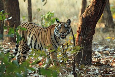 Bengal Tiger Panthera Tigris Tigris Walking in Forest Looking into the Camera Bandhavgarh India Foto de archivo