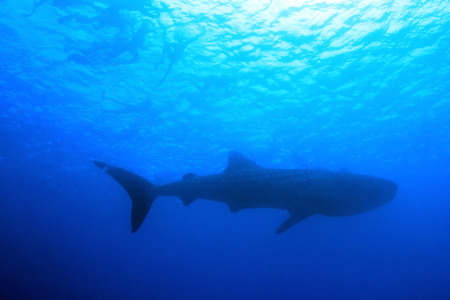 whale shark: Whale Shark (Rhincodon Typus) and Snorkeler Silhouettes against the Surface from Below, South Ari Atoll, Maldives Stock Photo
