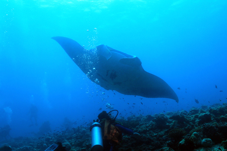 ari: Manta Ray (Manta Birostris) Approaching over the Reef, with Diver in Foreground, South Ari Atoll, Maldives