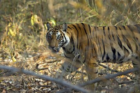 panthera tigris: Bengal Tiger Panthera Tigris Tigris Walking in Forest Bandhavgarh India Stock Photo
