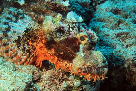 scorpionfish: Closeup of a Bearded Scorpionfish Scorpaenopsis Barbata South Ari Atoll Maldives