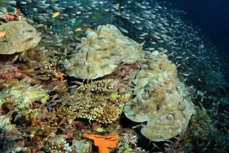 ari: Coral Reef Covered with Schooling Yellow Sweepers Parapriacanthus Ransonneti South Ari Atoll Maldives Stock Photo