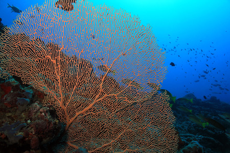 gorgonian: Gorgonian Fan Coral Anella Mollis aka Giant Fan Coral against Blue Water South Ari Atoll Maldives Stock Photo