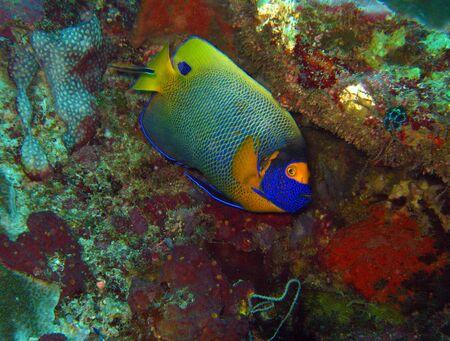 angelfish: Blueface Angelfish Pomacanthus Xanthometopon aka Yellowface Angelfish Yellowmasked Angelfish Maratua Indonesia