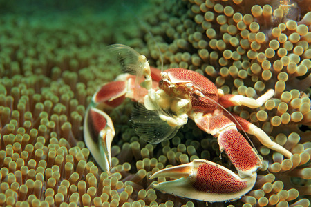 Spotted Porcelain Crab Neopetrolisthes Maculatus in an Anemone