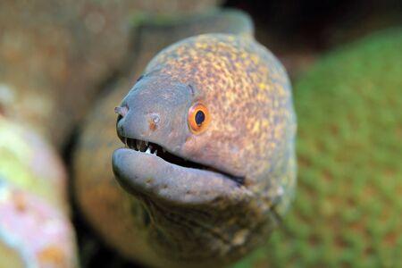 moray: Close-up of a Yellow-edged Moray Gymnothorax Flavimarginatus. Padang Bai, Bali, Indonesia Stock Photo