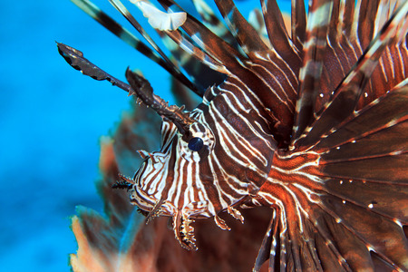pterois volitans: Close-up of a Common Lionfish Pterois Volitans. Komodo National Park, Flores, Indonesia Stock Photo