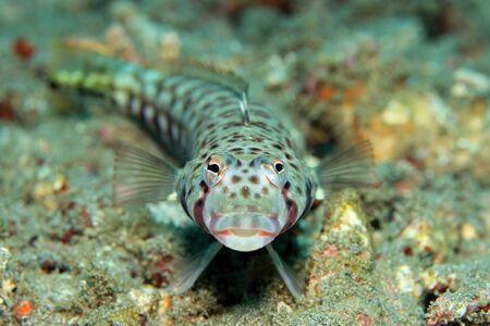 latticed: Frontal of a Latticed Sandperch Parapercis Clathrate, aka Spotted Grubfish, False-eyed Grubfish, False-eyed Sandperch. Padang Bai, Bali, Indonesia