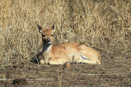 axis deer: Young Chital Axis Axis, aka Spotted Deer, Axis Deer Resting on the Ground. Ranthambhore, Rajasthan, India