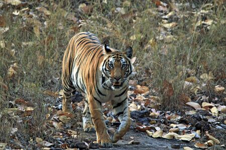 safari game drive: Bengal Tiger Panthera Tigris Tigris Approaching Closely, Bandhavgarh, India