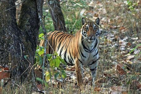 panthera tigris: Bengal Tiger Panthera Tigris Tigris Looking into the Camera. Bandhavgarh, India