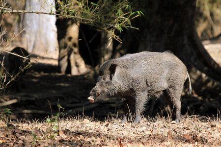 madhya: Wild Boar Sus Scrofa. Kanha National Park, Madhya Pradesh, India Stock Photo