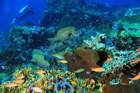 sweetlips: Harlequin Sweetlips Plectorhinchus Chaetodonoides on a Colorful Coral Reef. Komodo, Indonesia