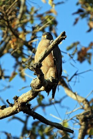 madhya: Crested Serpent Eagle Spilornis Cheela on a Branch, Looking into the Camera. Kanha National Park, Madhya Pradesh, India Stock Photo