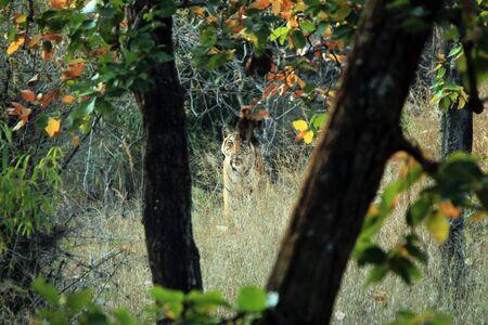 panthera tigris: Bengal Tiger Panthera Tigris Tigris in Vegetation, Looking into the Camera. Bandhavgarh, India