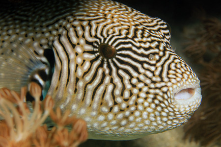 arothron: Close-up of a Map Pufferfish Arothron Mappa. Komodo, Indonesia