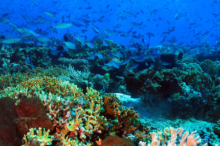 School of Blue and Gold Fusiliers Caesio Caerulaurea, aka Blue Fusilier, Gold-band Fusilier, Scissor-tailed Fusilier over a Colorful Coral Reef. Komodo, Indonesia Stock Photo