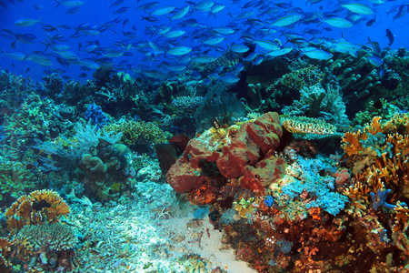 fish water: School of Blue and Gold Fusiliers Caesio Caerulaurea, aka Blue Fusilier, Gold-band Fusilier, Scissor-tailed Fusilier over a Colorful Coral Reef. Komodo, Indonesia Stock Photo