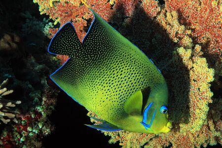semicircle: Koran Angelfish Pomacanthus Semicirculatus, aka Semicircle Angelfish. Nusa Penida, Bali, Indonesia Stock Photo