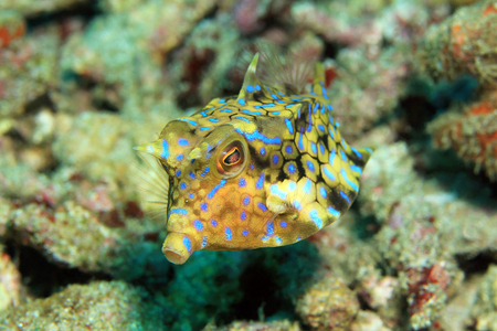 boxfish: Thornback Cowfish Lactoria Fornasini. Padang Bai, Bali, Indonesia