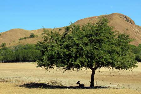komodo island: Young Timor Deer Rusa Timorensis, aka Javan Rusa, Javan Deer, Rusa Deer, Sunda Sambar Resting under a Tree. Rinca, Komodo National Park, Indonesia Stock Photo