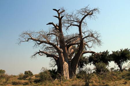 Okavango Delta: Baobab Tree. Okavango Delta, Botswana Stock Photo