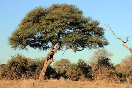 lonely tree: Lonely Tree at Khwai River, Botswana