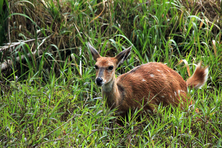 zimbabwe: Bosbok Strepsiceros sylvaticus. Victoria Falls, Zimbabwe