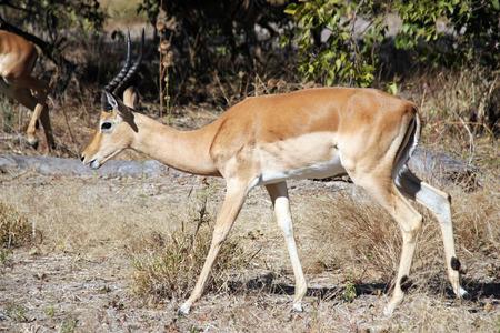 ungulate: Male Impala. Moremi Game Reserve, Botswana